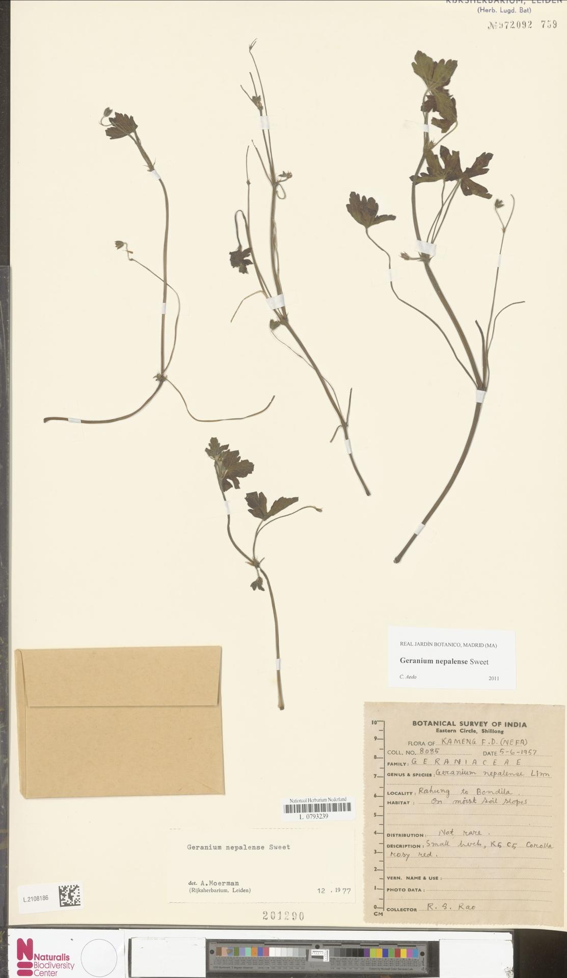 L.2108186   Geranium nepalense Sweet
