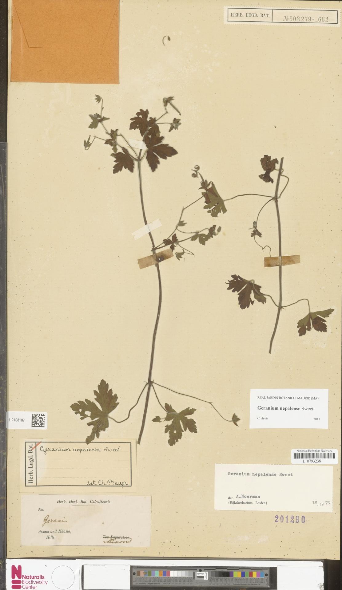 L.2108187 | Geranium nepalense Sweet
