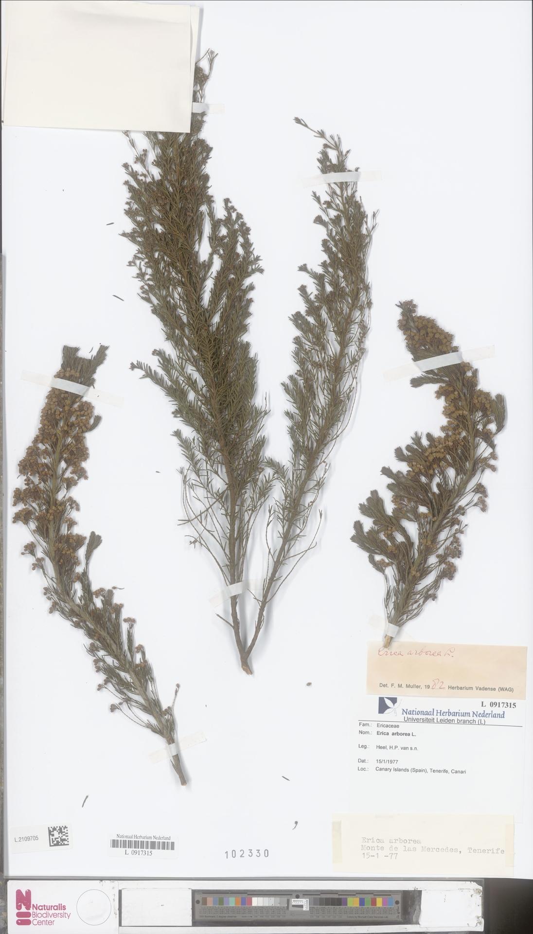 L.2109705   Erica arborea L.