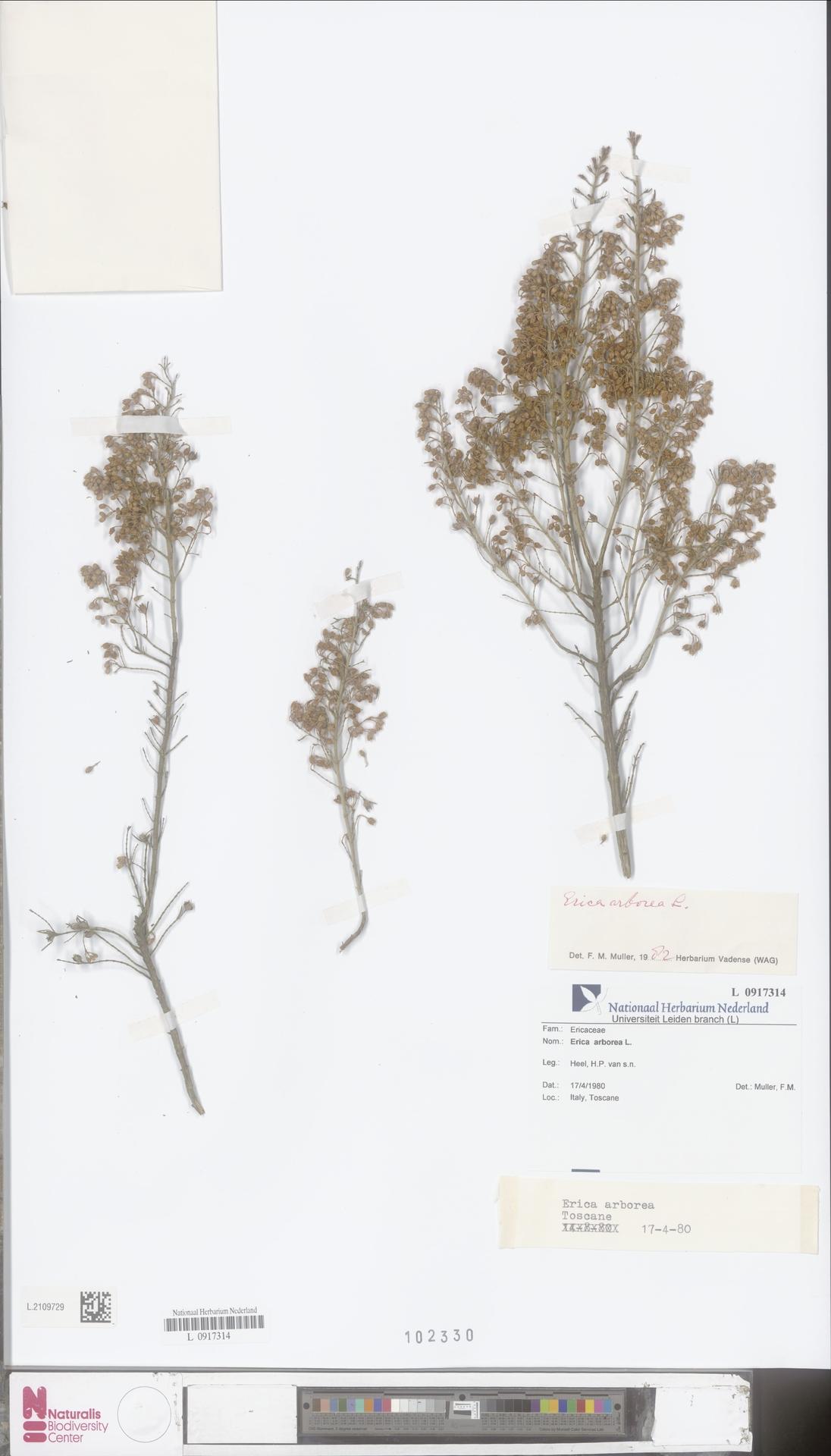 L.2109729 | Erica arborea L.