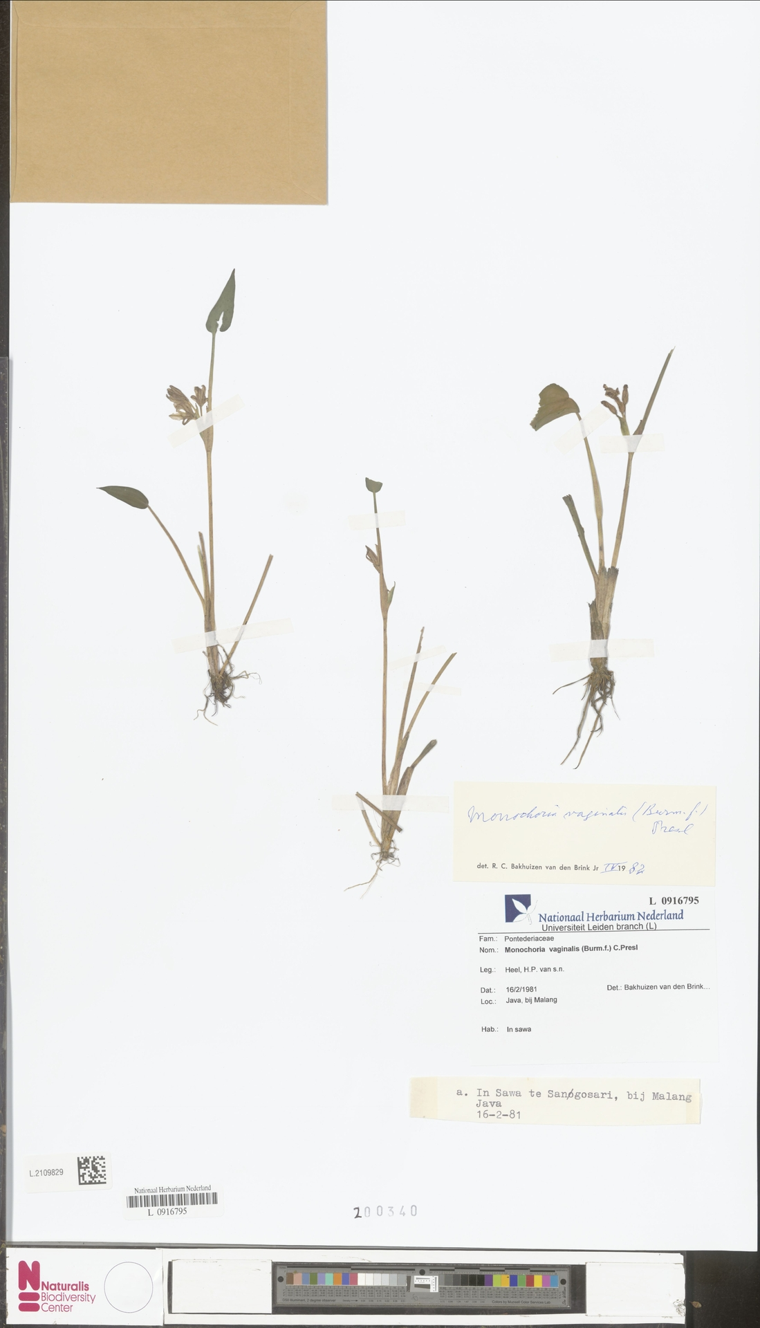 L.2109829 | Monochoria vaginalis (Burm.f.) Presley
