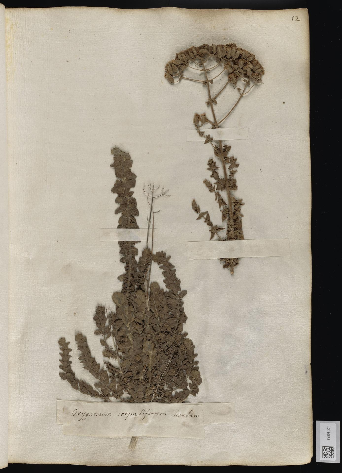 L.2110583 | Origanum onites L.