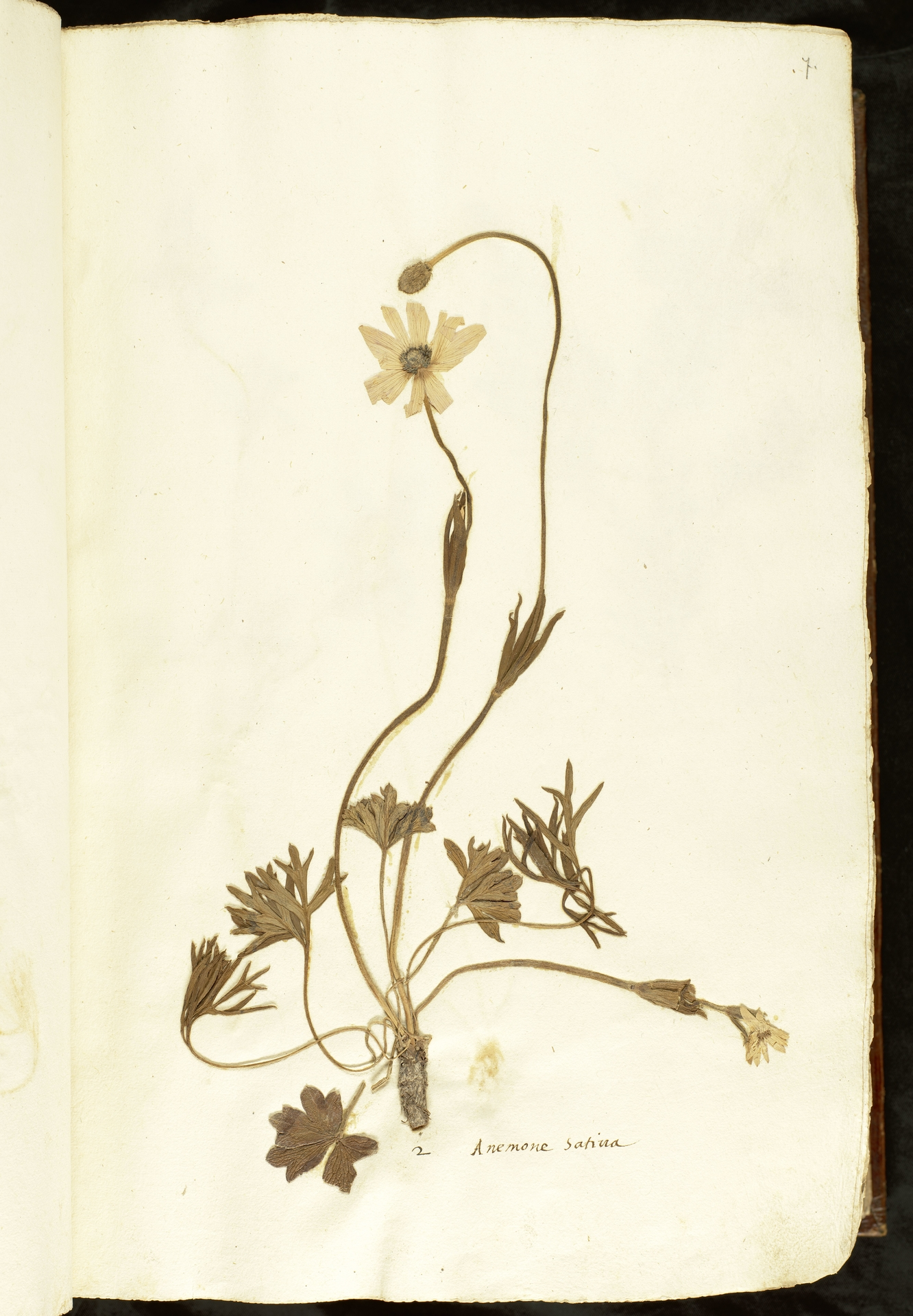 L.2110821   Anemone hortensis L.