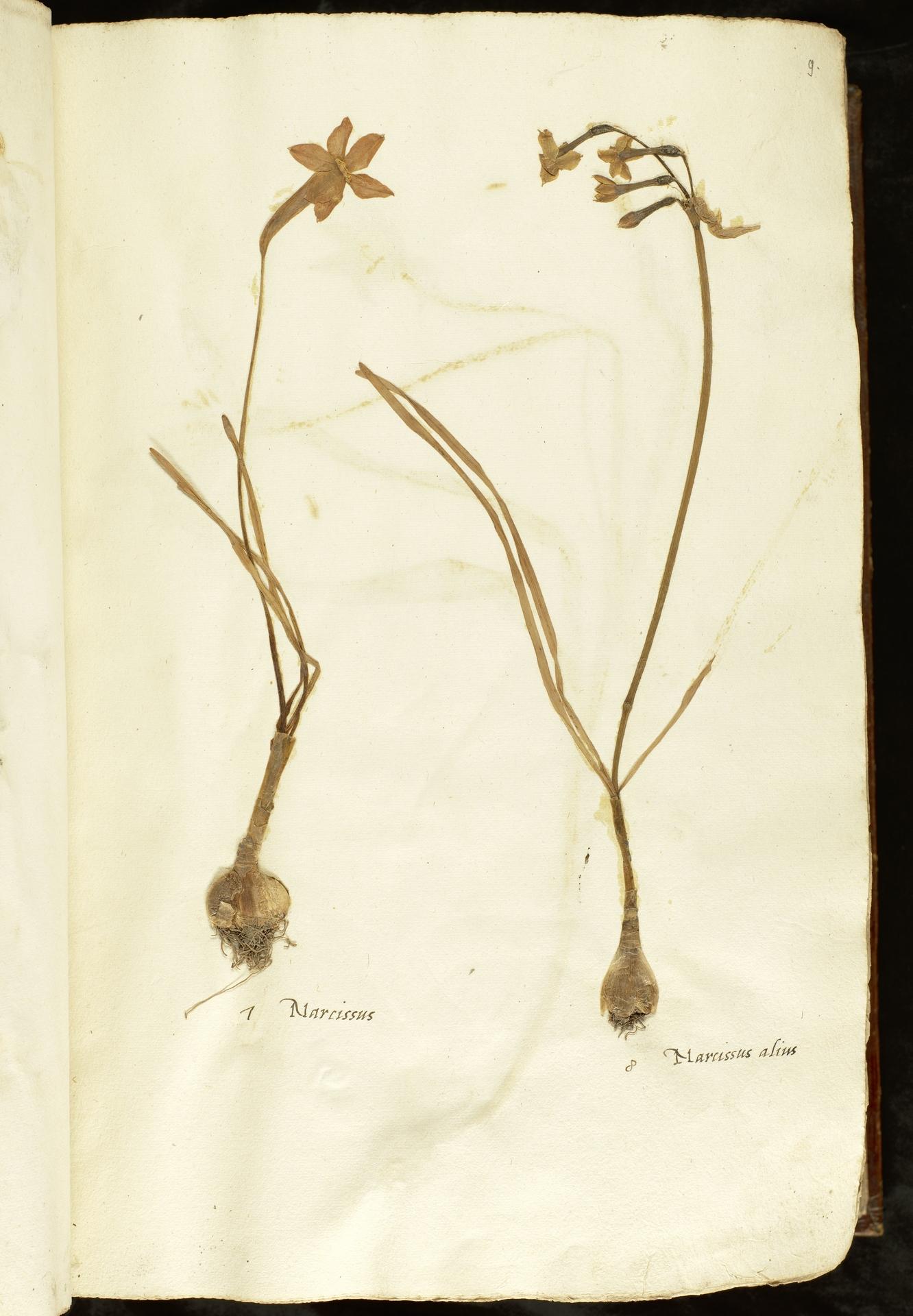 L.2110824 | Narcissus poeticus L.