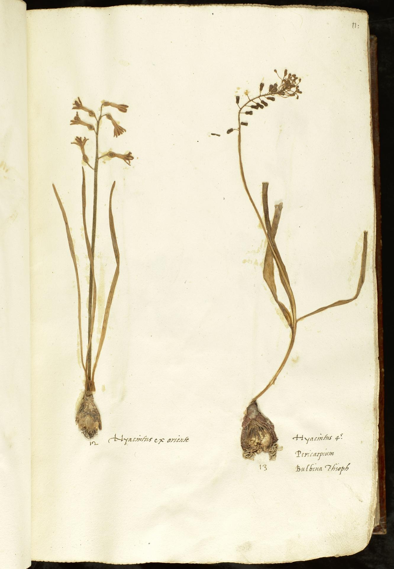 L.2110828 | Leopoldia comosa (L.) Parl.