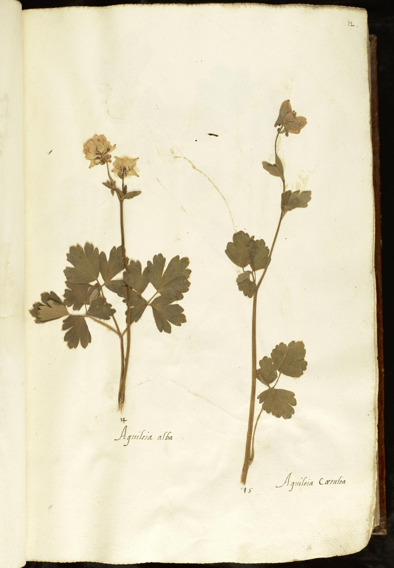L.2110829 | Aquilegia vulgaris L.