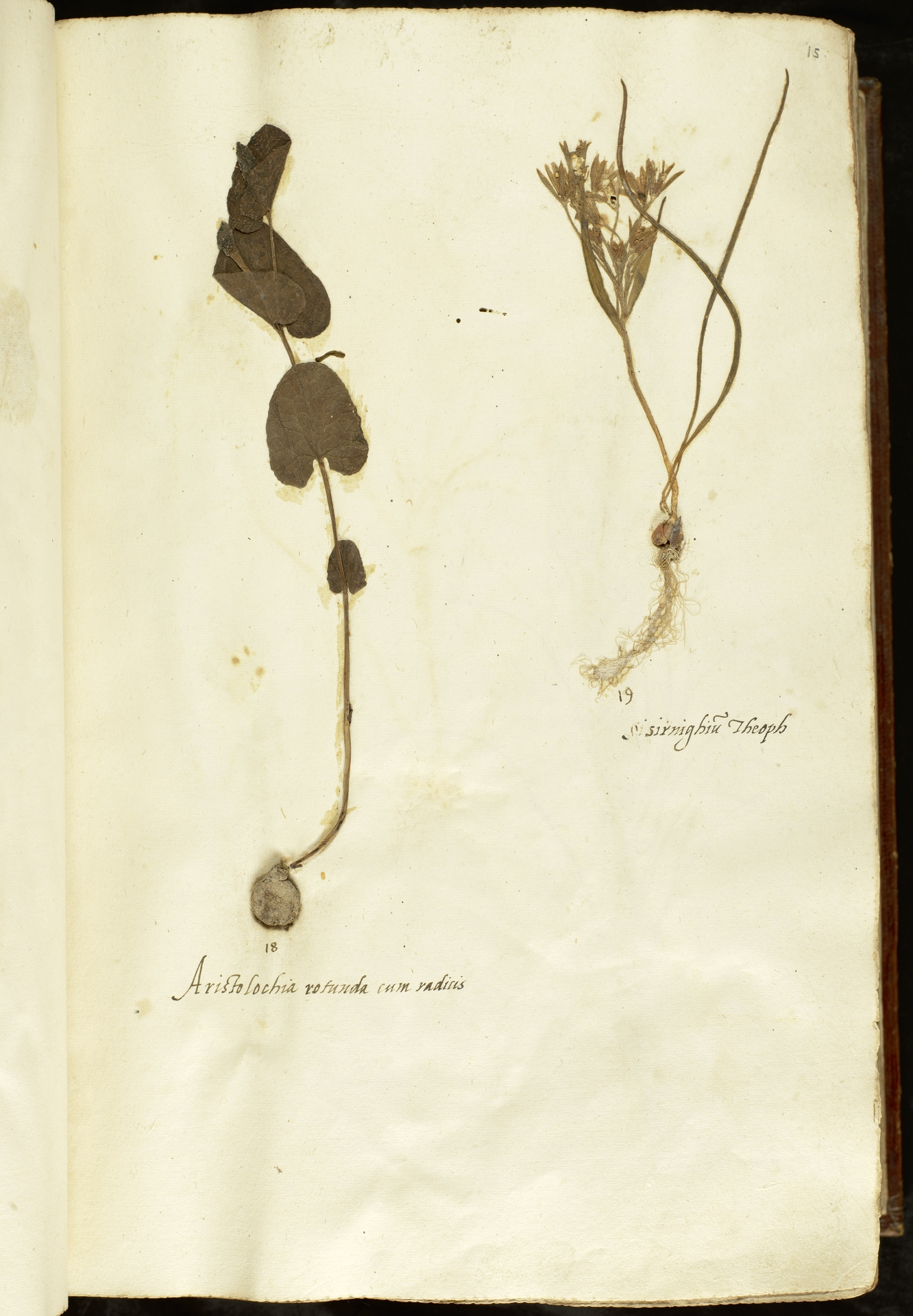 L.2110833 | Aristolochia rotunda L.