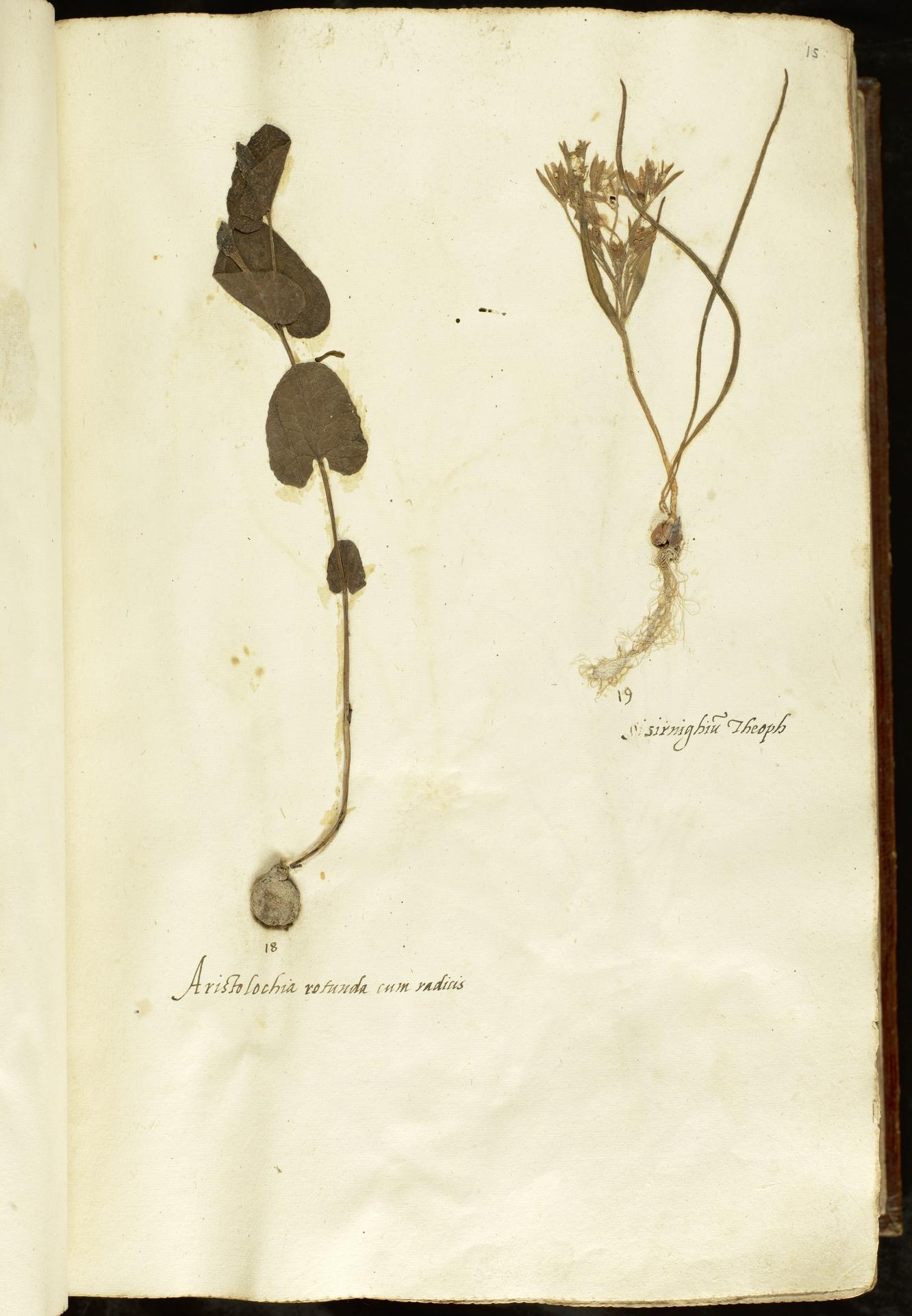 L.2110834   Gagea villosa (M.Bieb.) Sweet