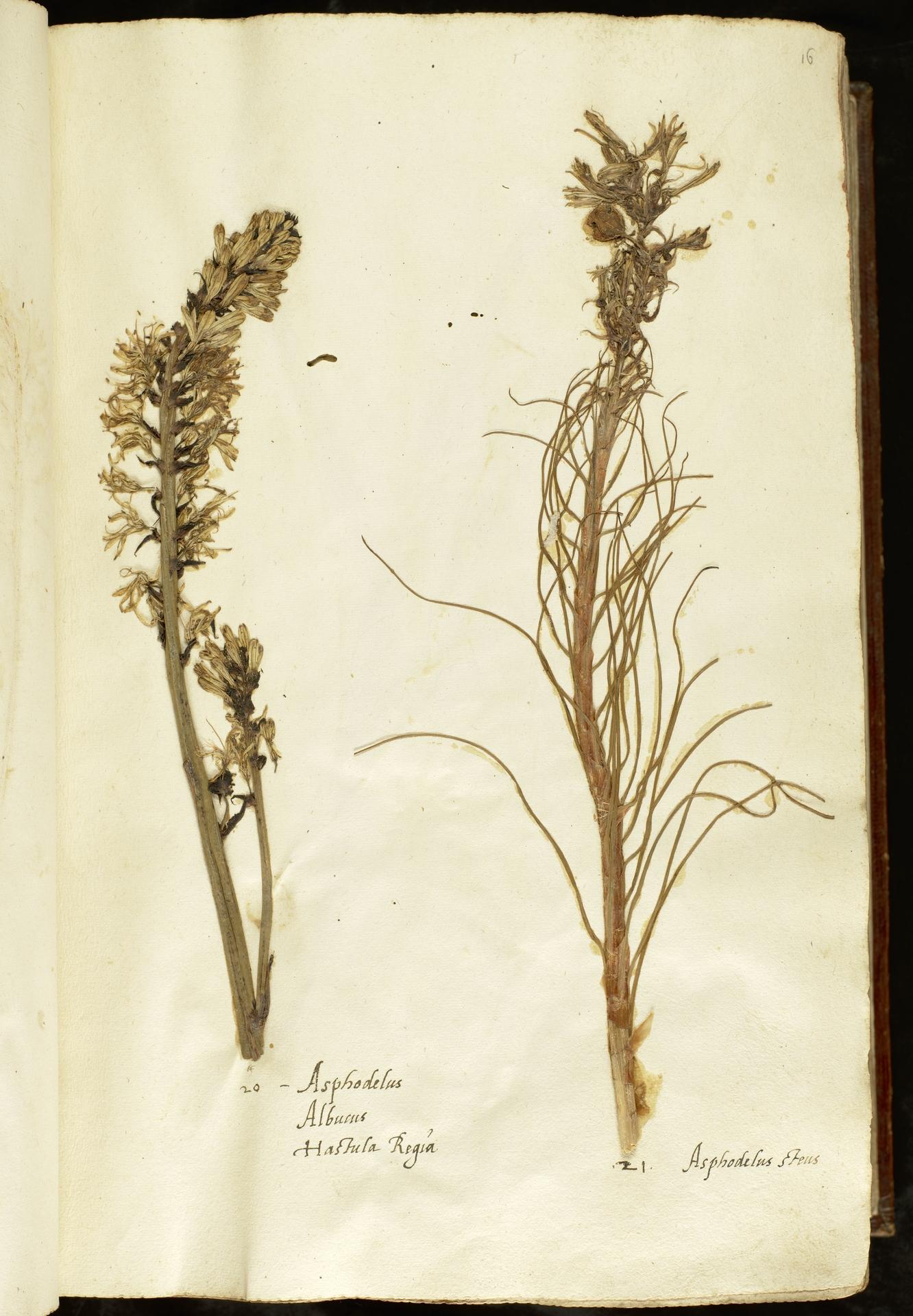 L.2110835 | Asphodelus albus Mill.