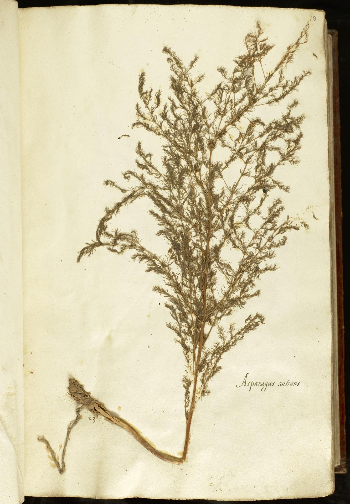 L.2110838 | Asparagus tenuifolius Lam.