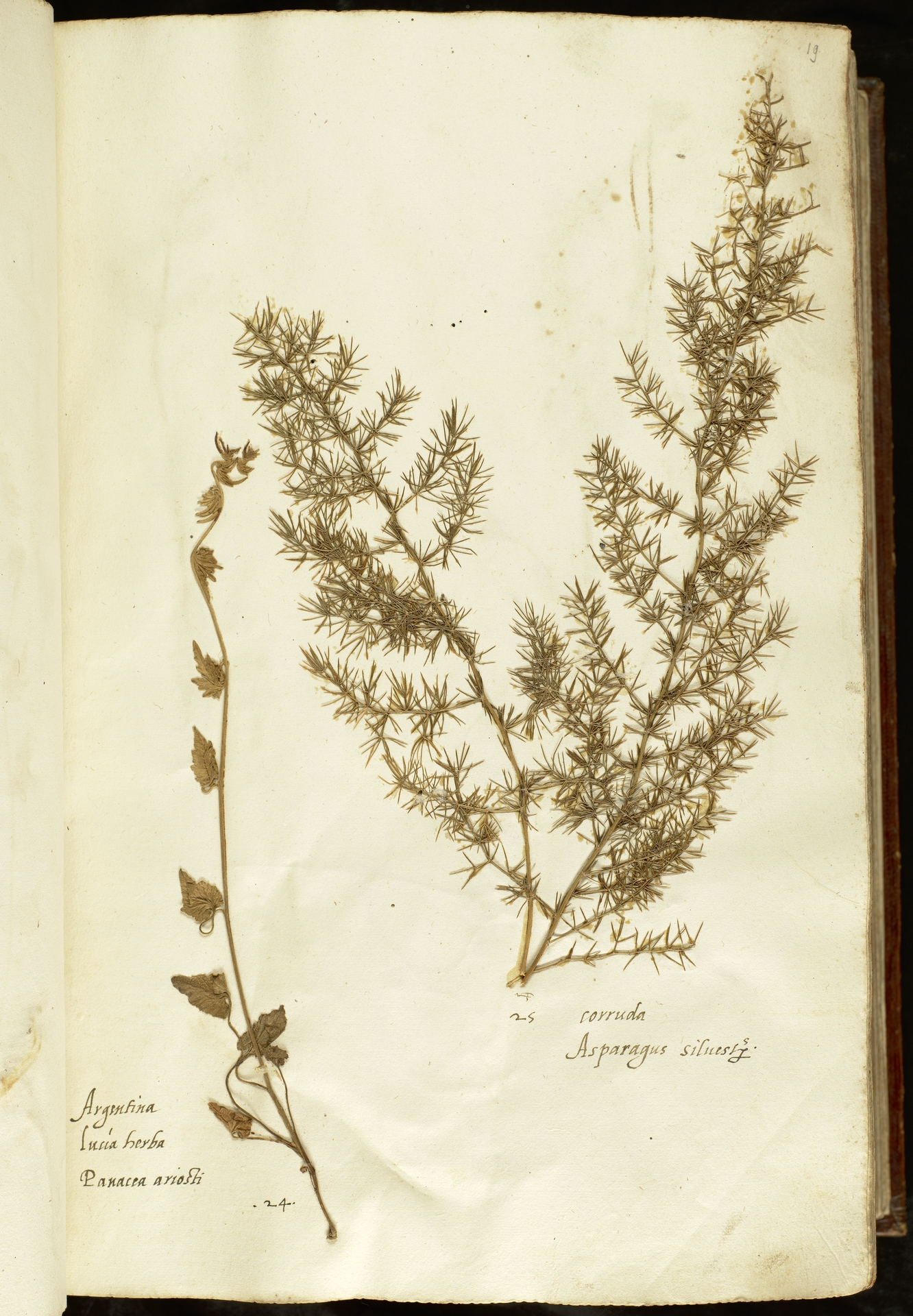L.2110840 | Asparagus acutifolius L.