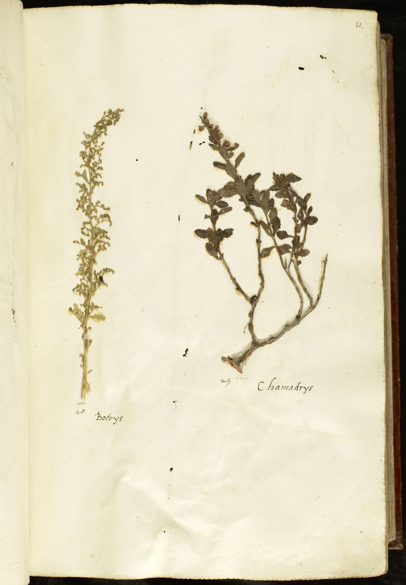 L.2110843 | Dysphania botrys (L.) Mosyakin & Clemants