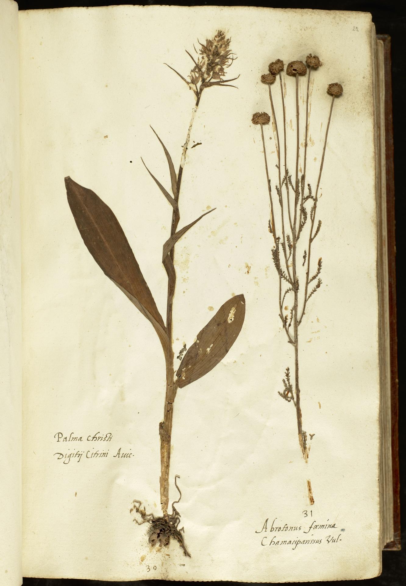L.2110846   Santolina chamaecyparissus L.