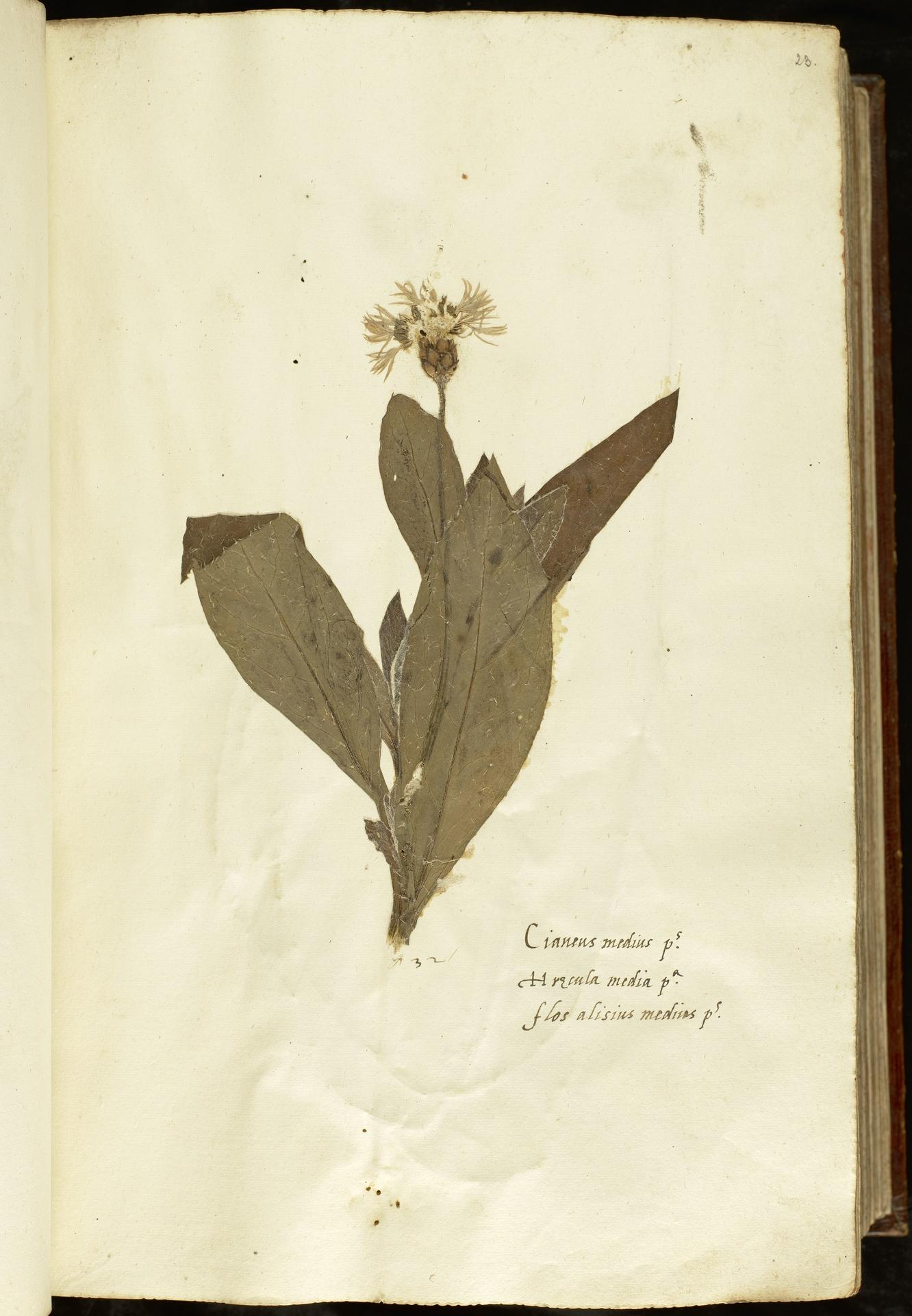 L.2110847 | Cyanus montanus (L.) Hill