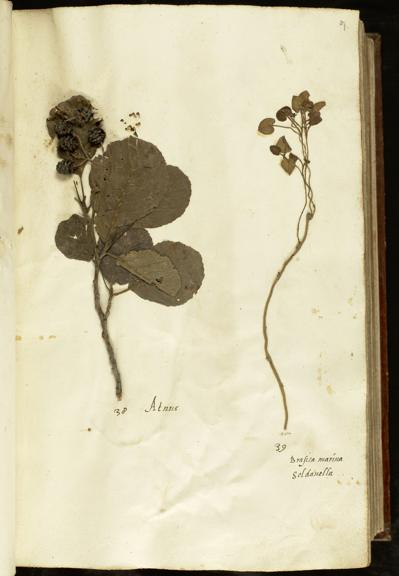 L.2110853 | Alnus glutinosa (L.) Gaertn.