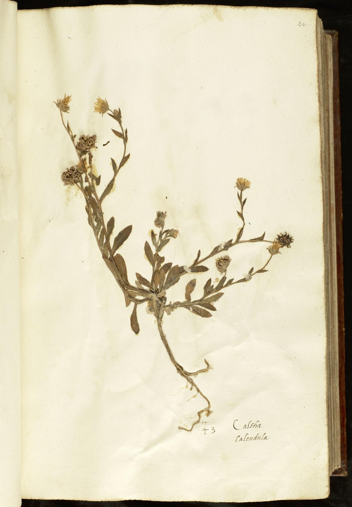 L.2110858 | Calendula arvensis (Vaill.) L.