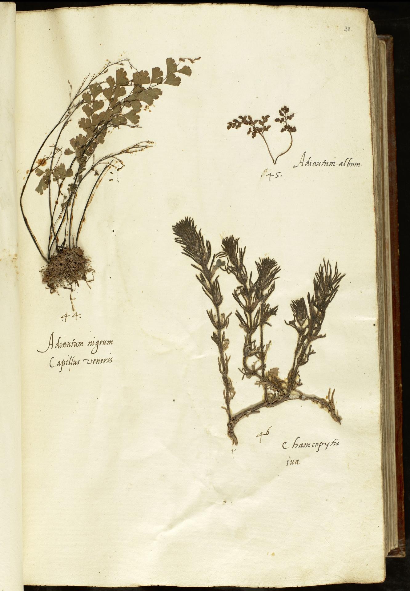 L.2110861 | Ajuga chamaepitys (L.) Schreb.