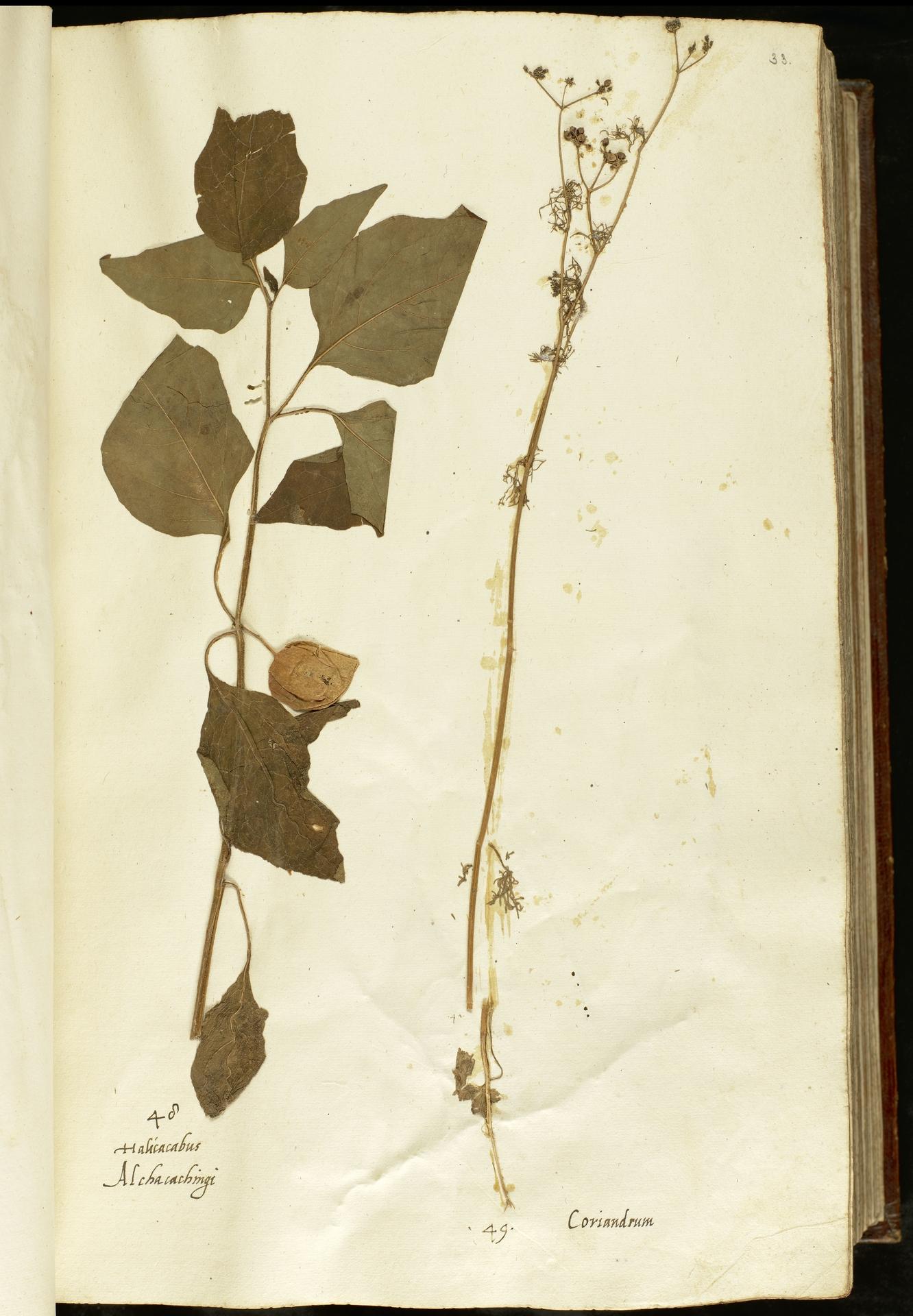 L.2110864 | Coriandrum sativum L.