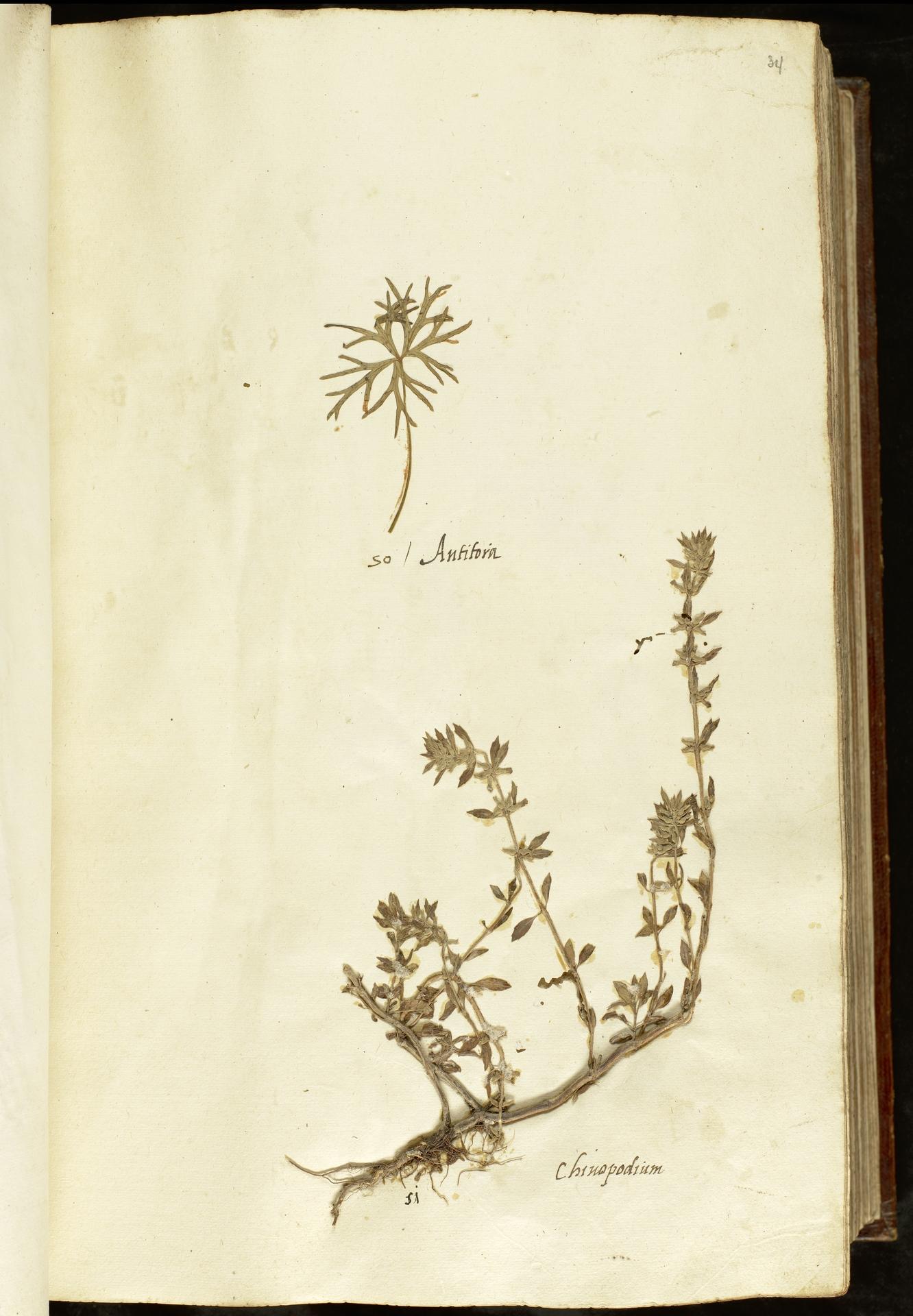 L.2110866 | Clinopodium acinos (L.) Kuntze
