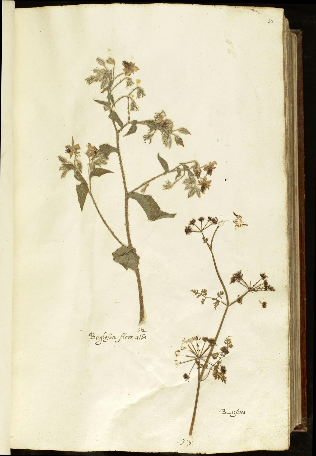 L.2110867 | Borago officinalis L.