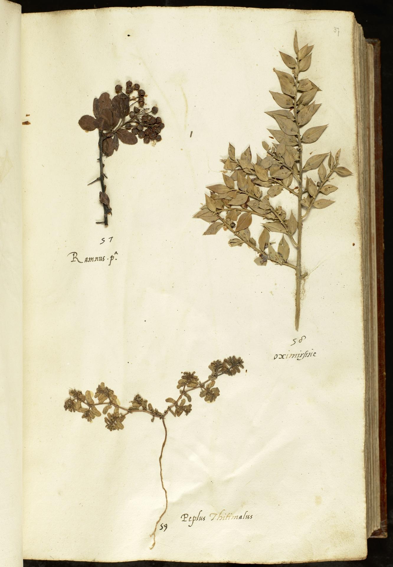 L.2110873 | Euphorbia peplis L.