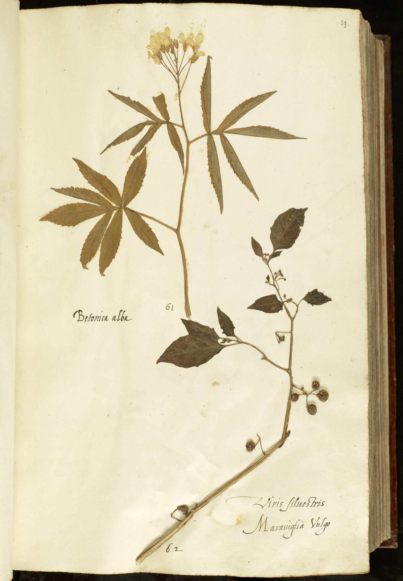 L.2110875 | Cardamine heptaphylla (Vill.) O.E.Schulz