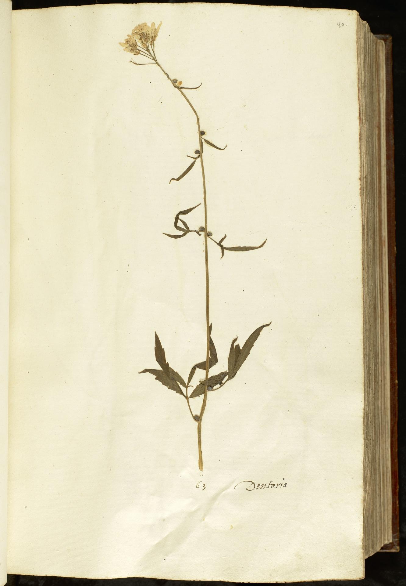 L.2110877 | Cardamine bulbifera (L.) Crantz