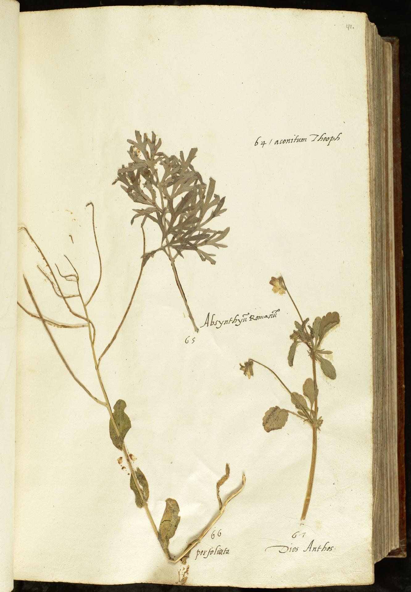 L.2110881 | Viola tricolor L.