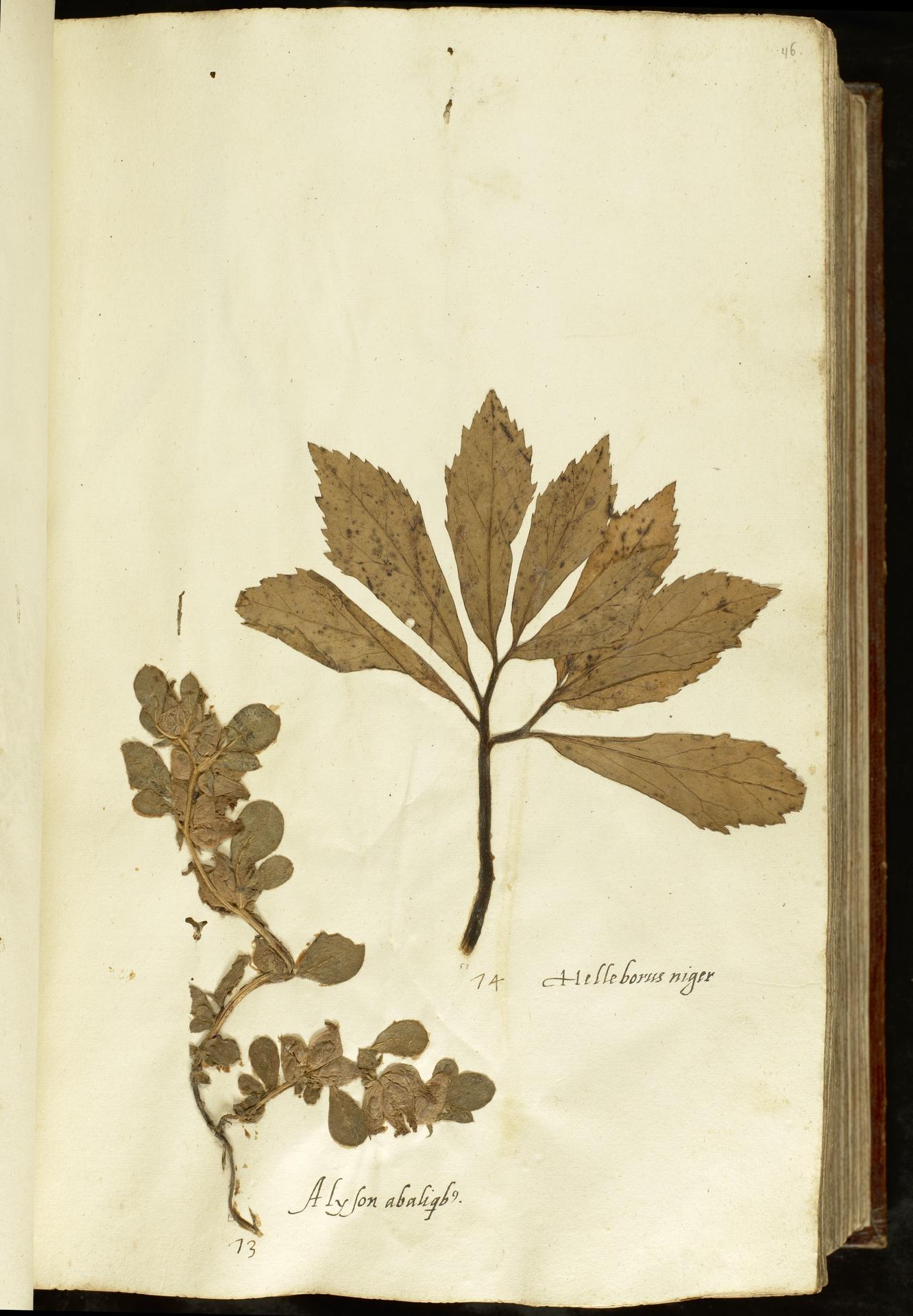 L.2110888 | Helleborus niger L.