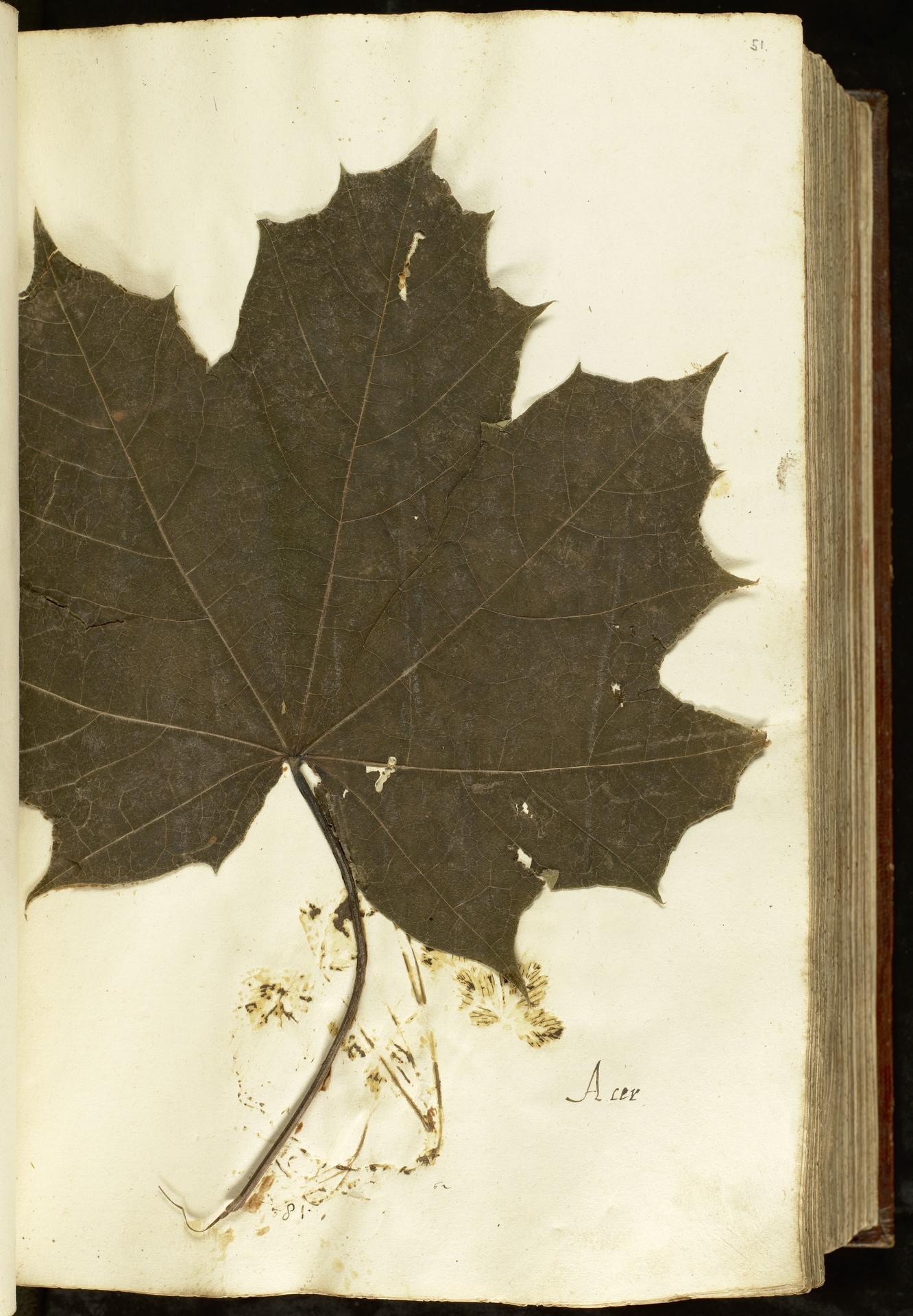 L.2110895 | Acer platanoides L.