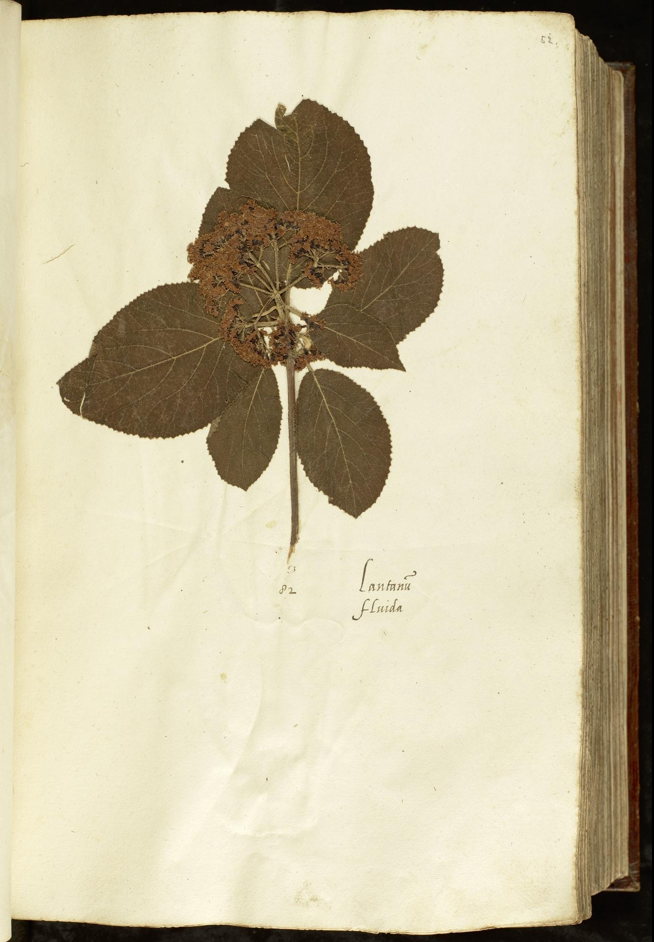 L.2110896 | Viburnum lantana L.