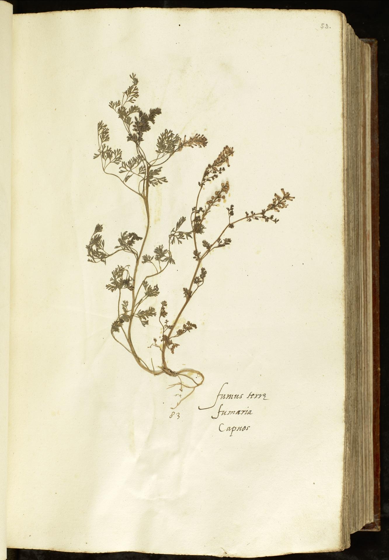 L.2110897 | Fumaria officinalis L.