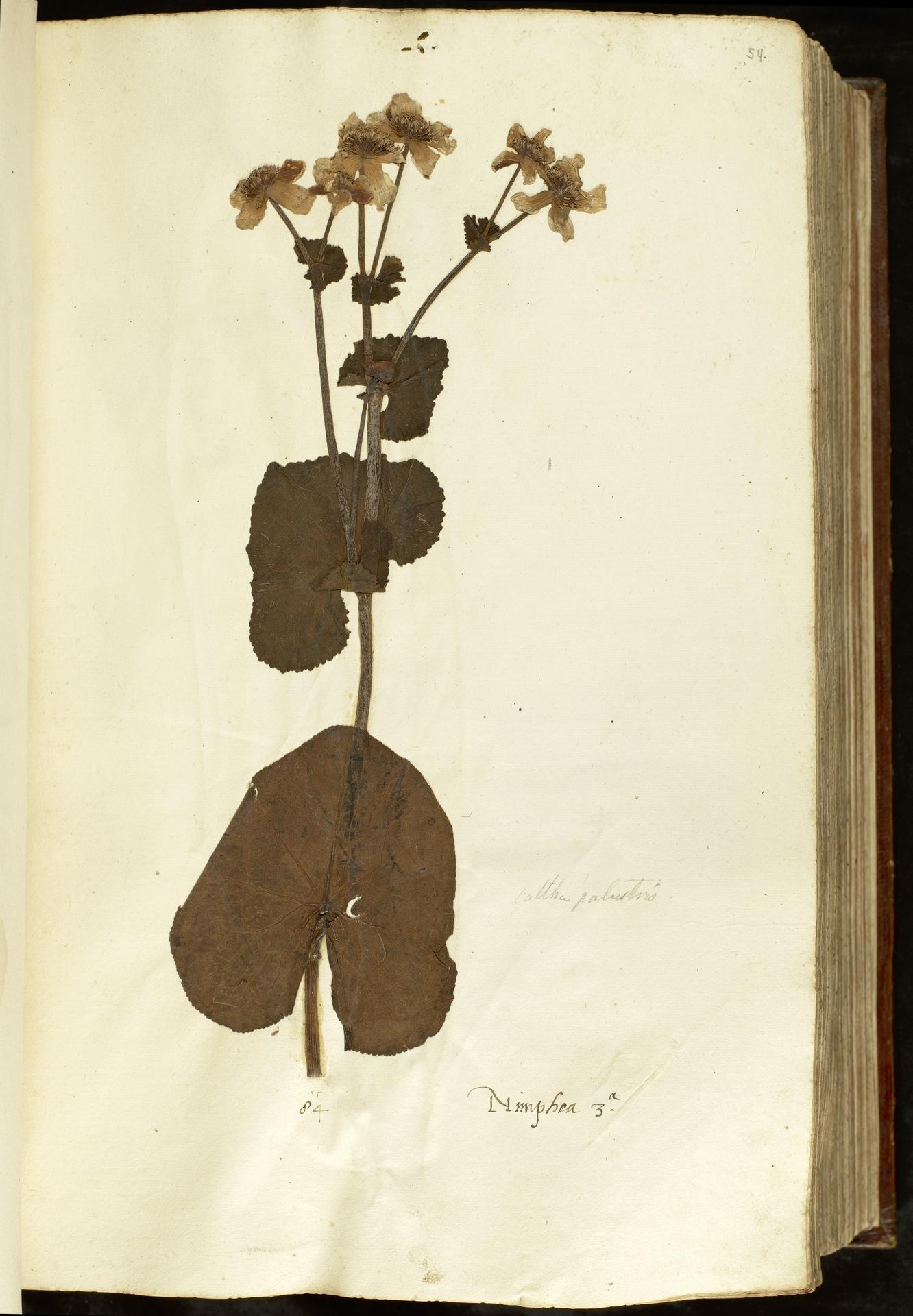 L.2110898 | Caltha palustris L.