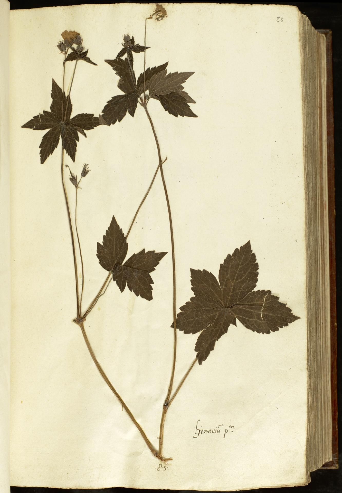 L.2110899 | Geranium nodosum L.