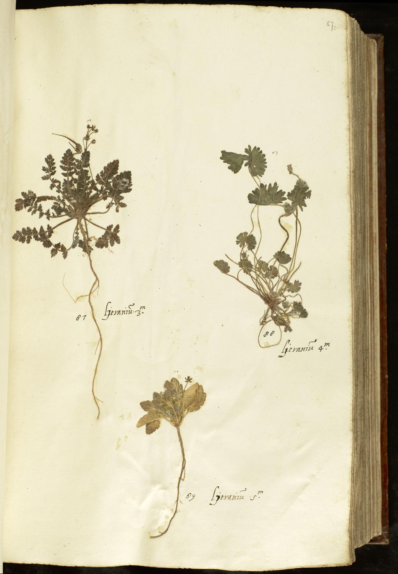 L.2110902 | Geranium rotundifolium L.