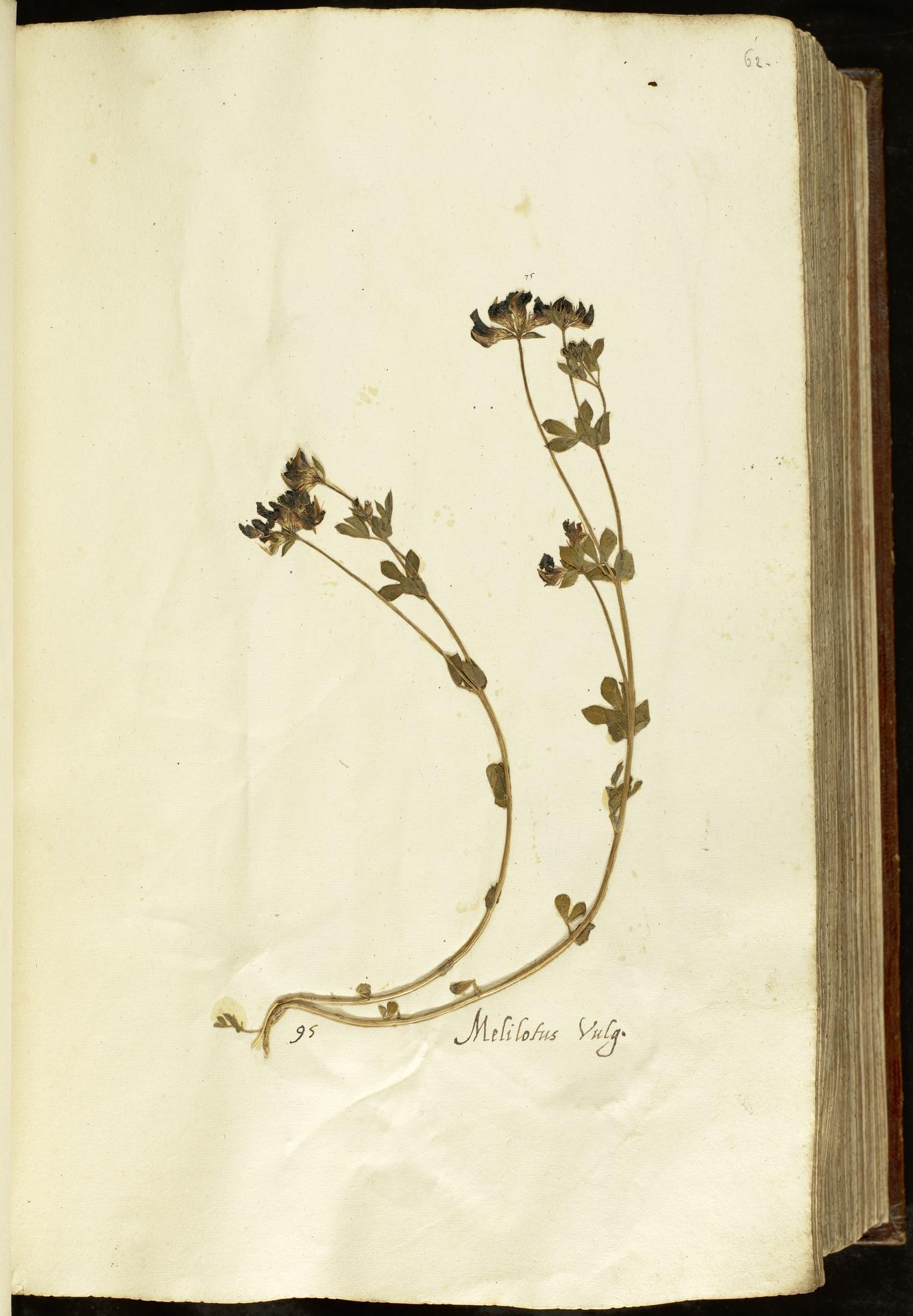 L.2110909 | Lotus corniculatus L.