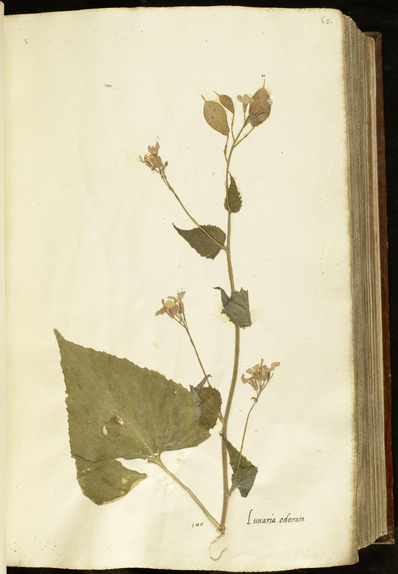 L.2110913 | Lunaria annua L.