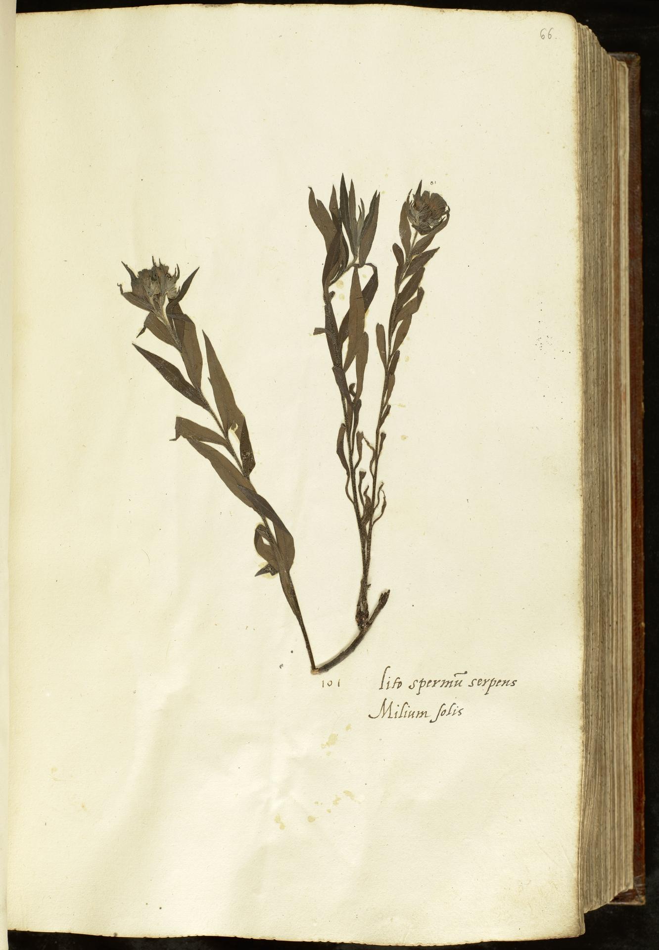 L.2110914 | Buglossoides purpurocaerulea (L.) I.M.Johnst.
