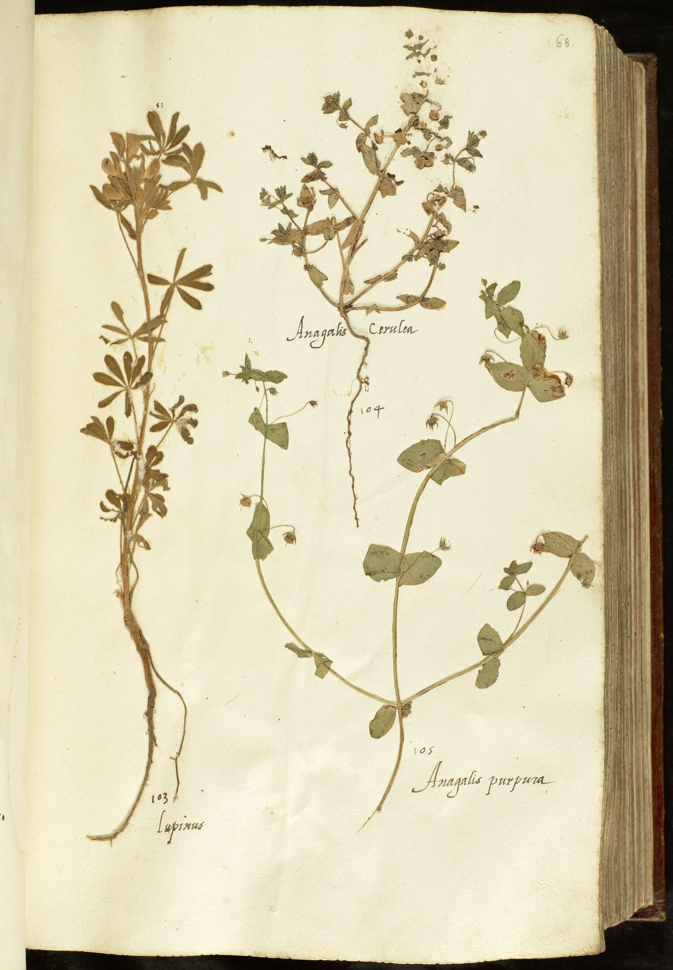 L.2110917 | Anagallis foemina Mill.
