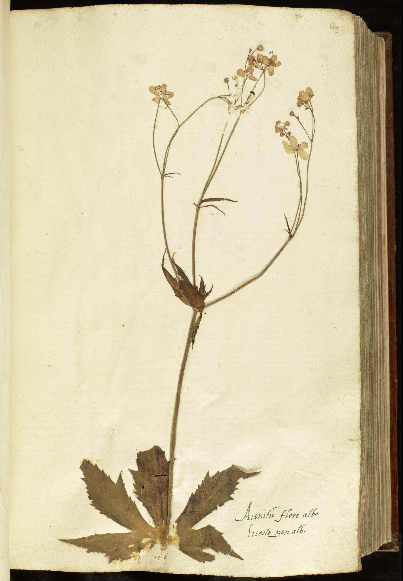 L.2110919 | Ranunculus aconitifolius L.