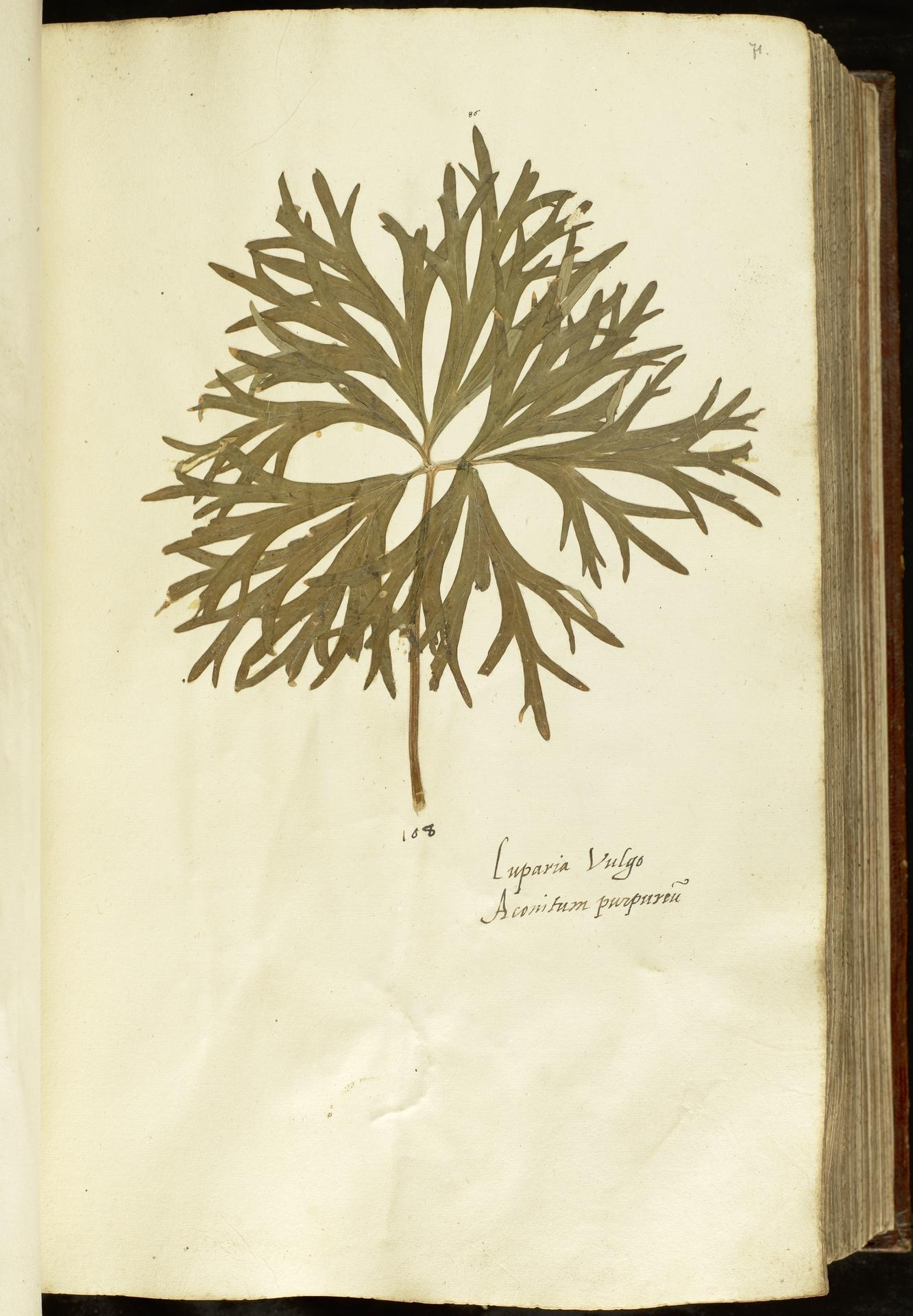 L.2110921 | Aconitum napellus L.