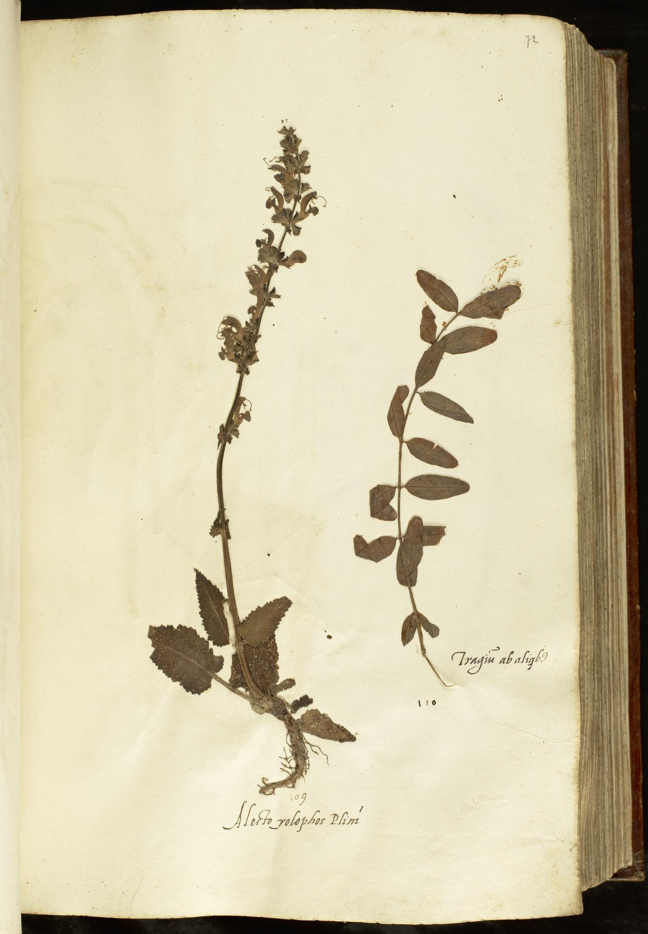 L.2110923 | Apocynum venetum L.