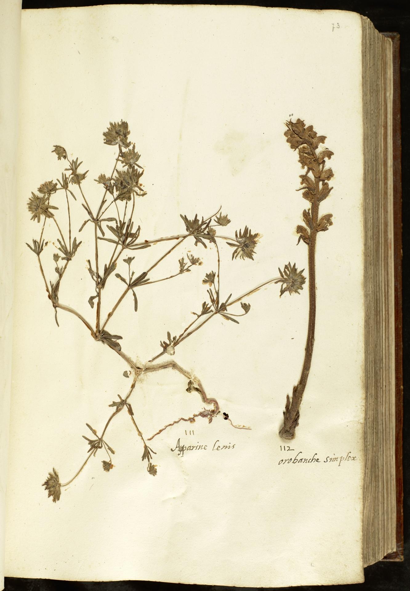 L.2110924 | Asperula arvensis L.