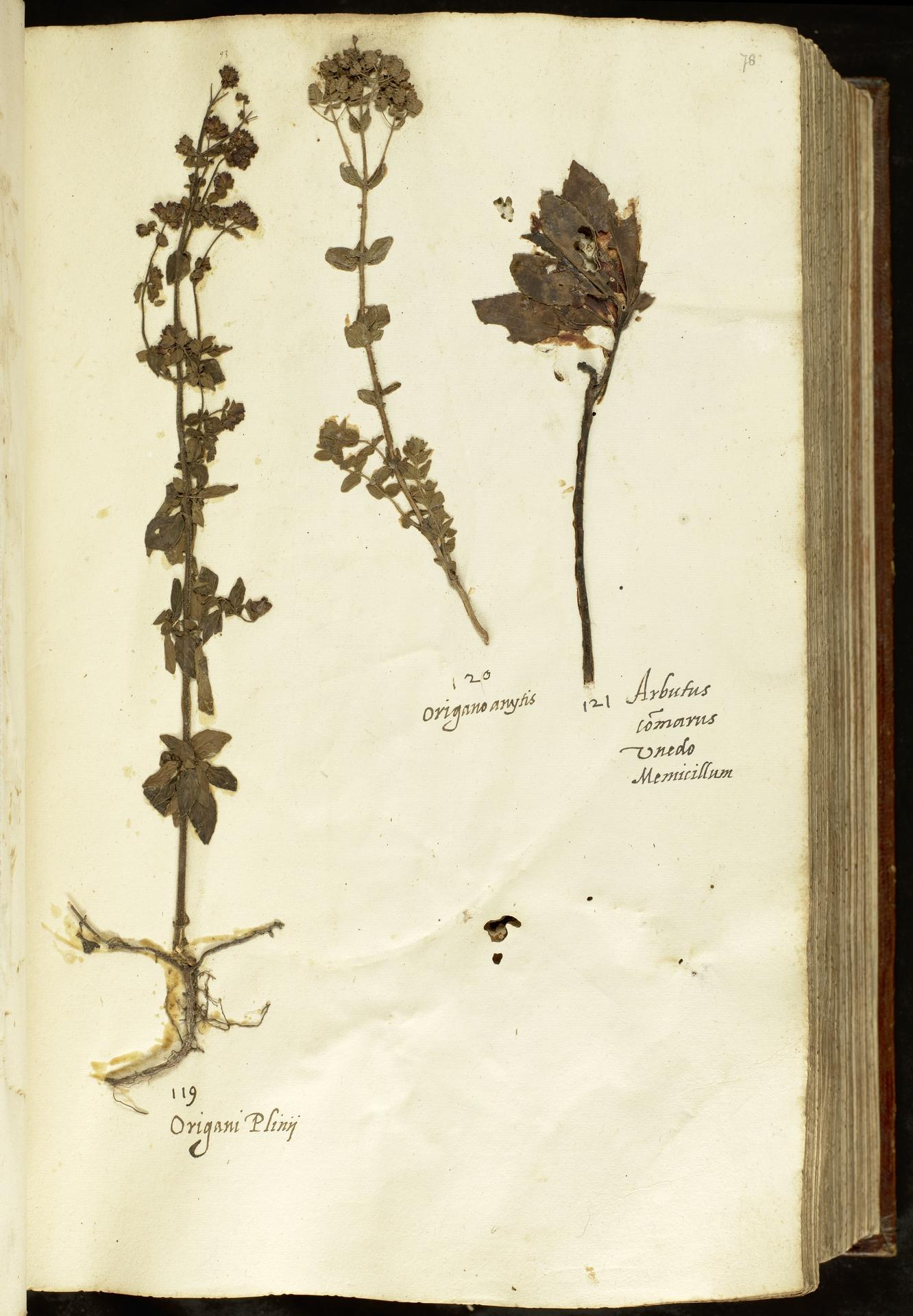 L.2110934 | Arbutus unedo L.