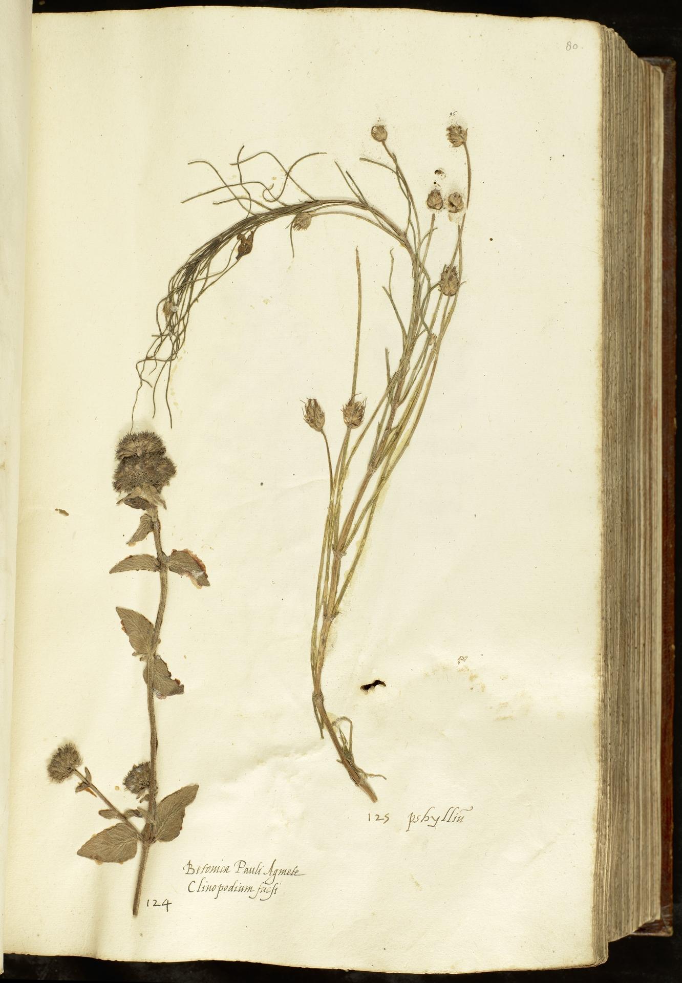 L.2110937   Clinopodium vulgare subsp. vulgare