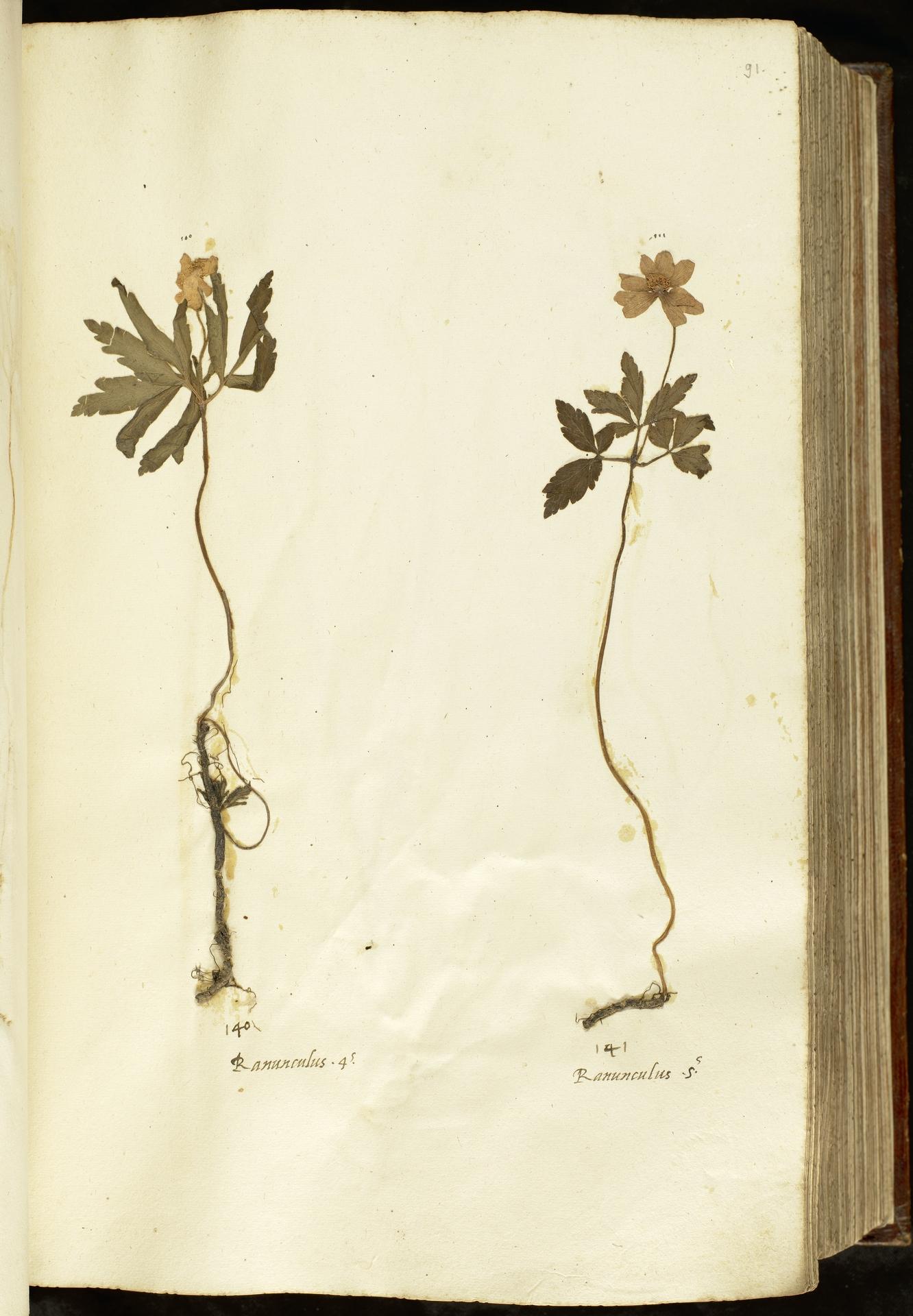 L.2110951 | Anemone ranunculoides L.