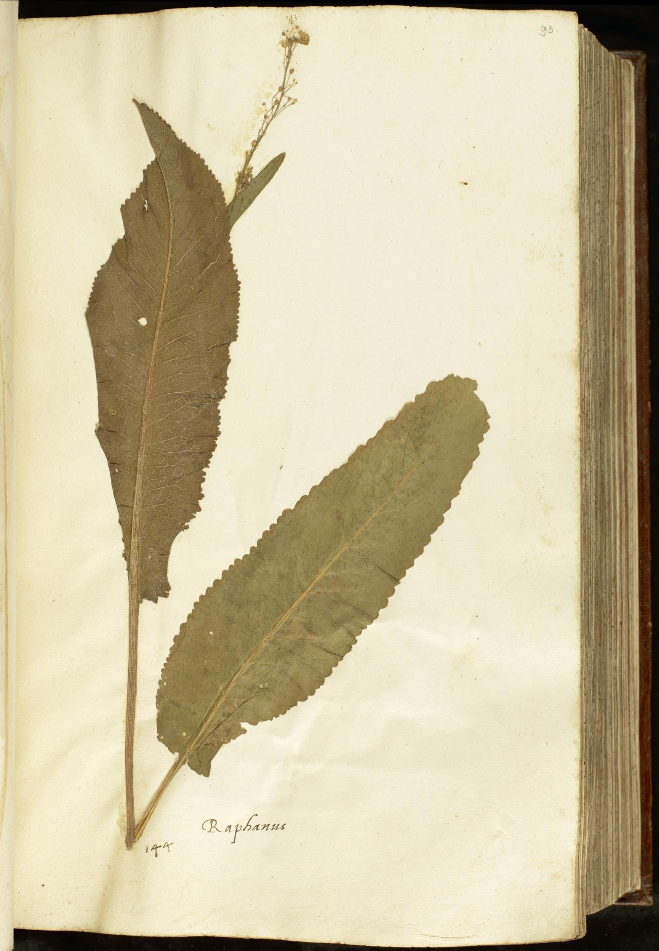 L.2110955 | Armoracia rusticana G.Gaertn., B.Mey. & Schreb.