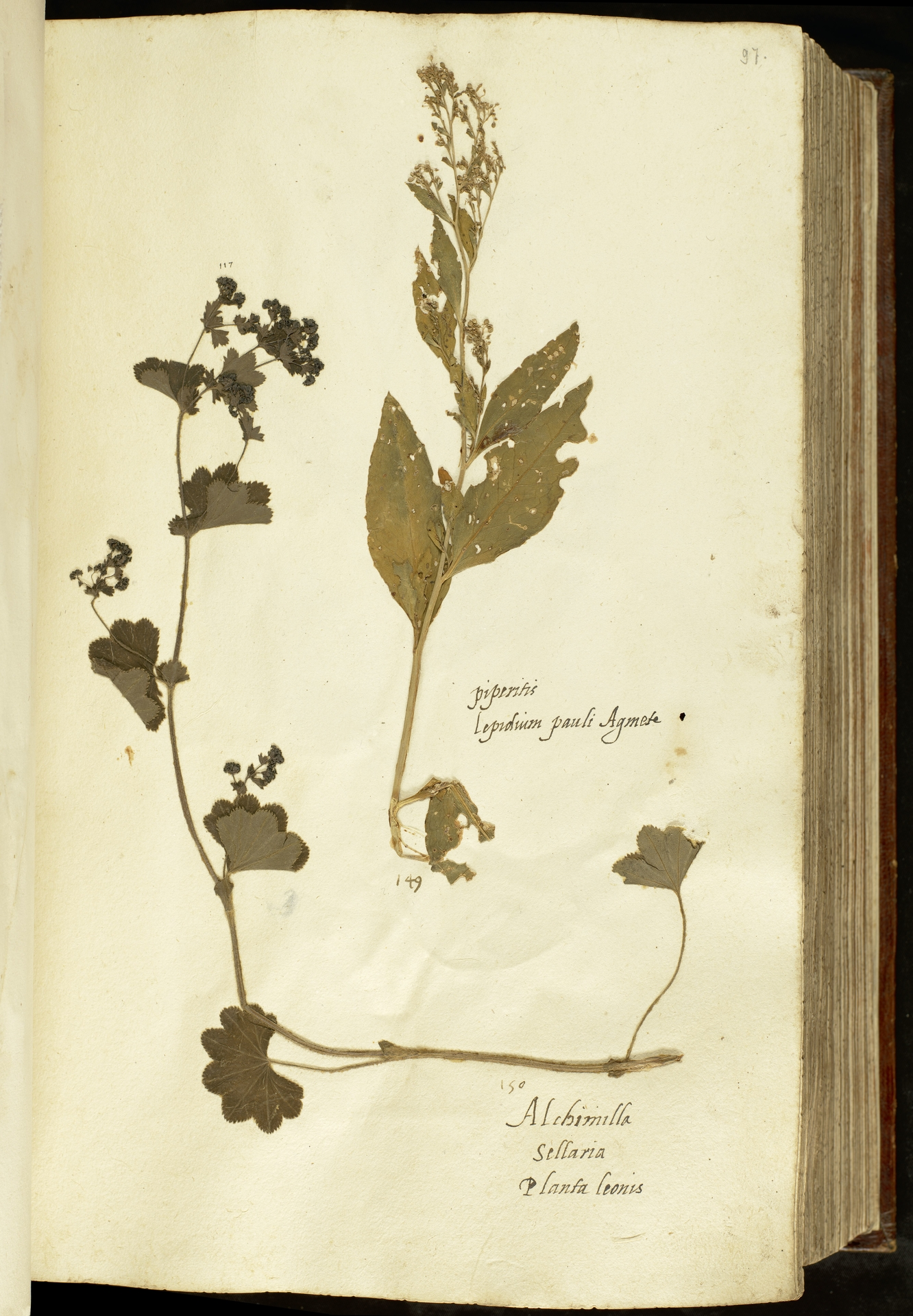 L.2110961 | Alchemilla vulgaris L.
