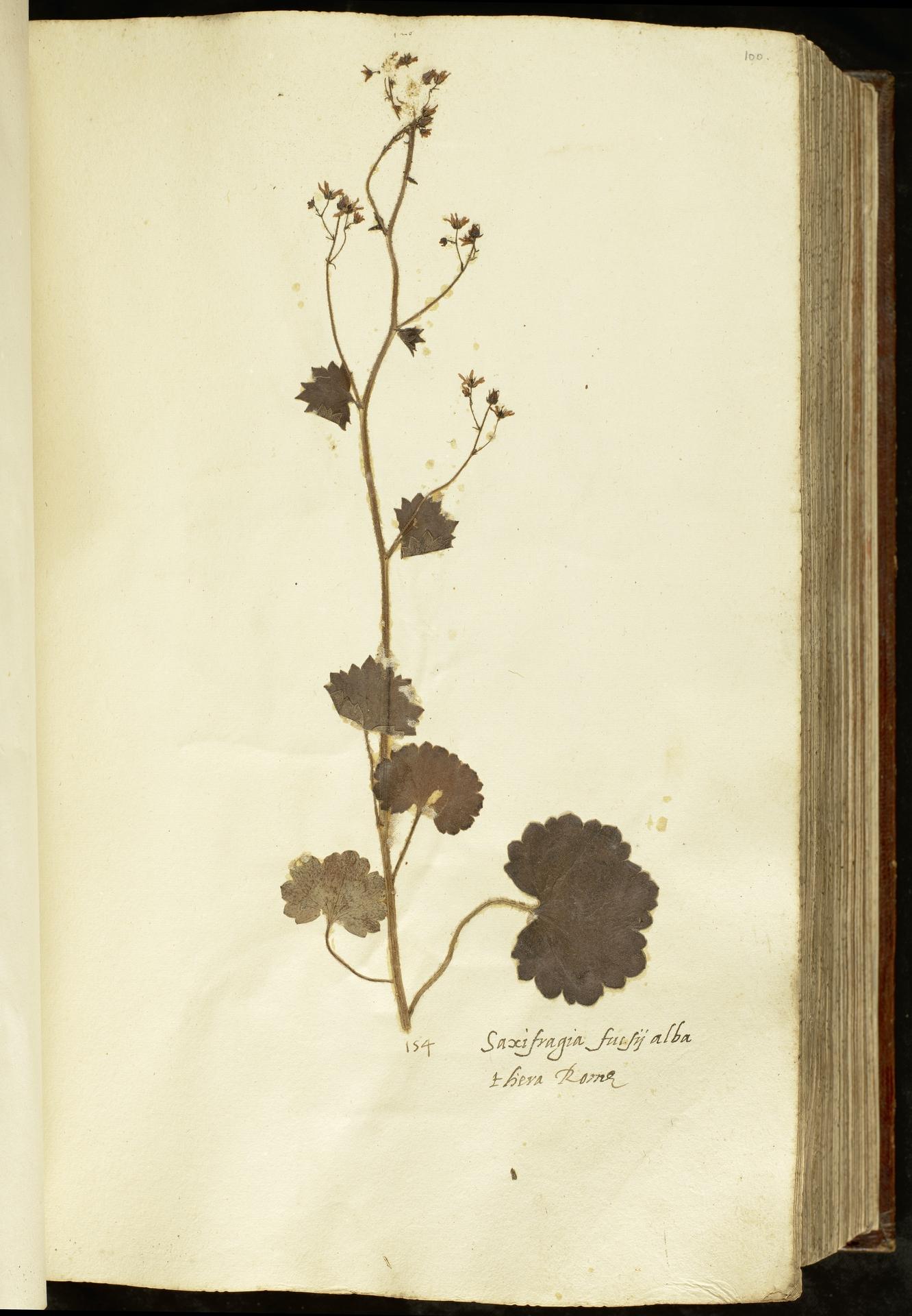 L.2110965 | Saxifraga rotundifolia L.