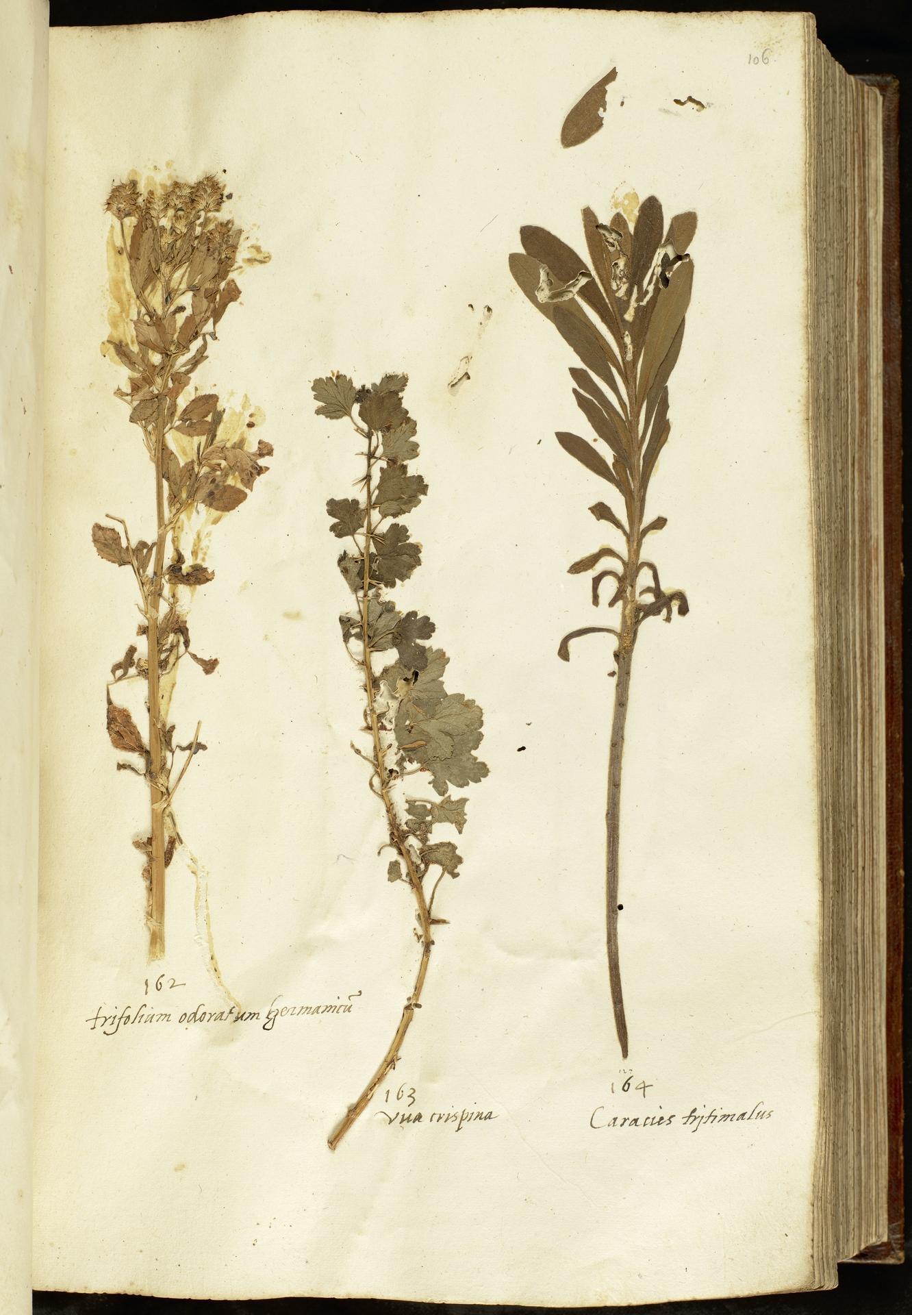 L.2110975 | Euphorbia characias L.